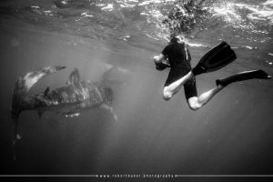 It is very difficult to frame up the shot as the whale sharks move much faster than you can.