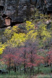 Colorful trees along the Virgin River in Zion National Park.