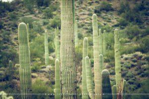 Various cacti at Organ Pipe Cactus National Monument