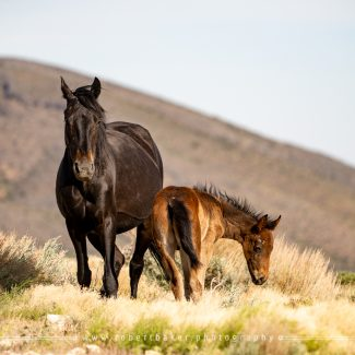 wild horses at Cold Creek